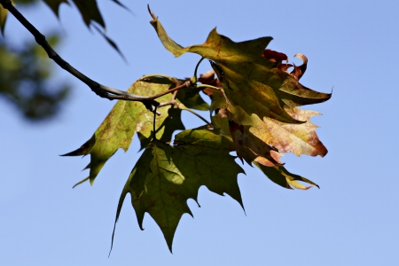 groupings: Maple Tree Stock Photo