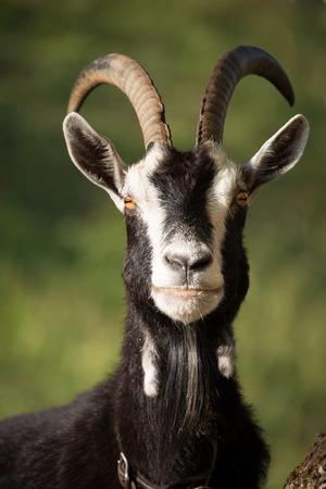 tierschutz: Goat