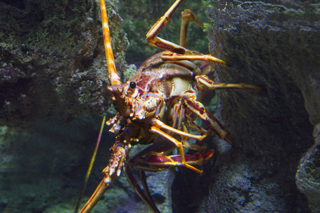 palinuridae: wild spiny lobster in the sea