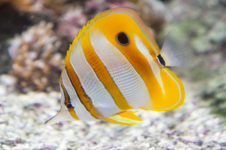 indo pacific: wild yellow tropical fish with white stripes in the sea