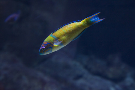 amazing clope up of a  unique parot fish in the sea Stock Photo - 26564566