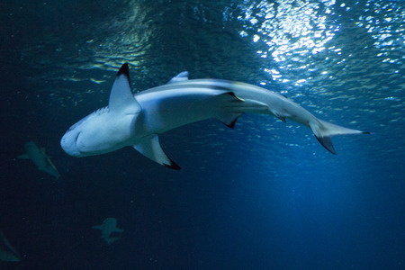 basking: Great white Shark posing in the deep blue water Stock Photo