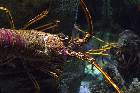 palinuridae: close-up of a spiny lobster in the sea