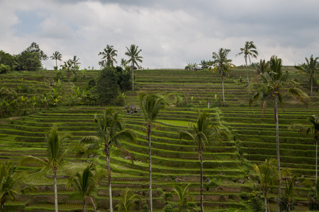 ricefield: Rice paddies in Bali Indonesia Stock Photo