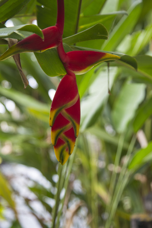 heliconiaceae: Beautiful Heliconia flower blooming in vivid colors