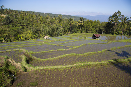 paddies: Rice paddies in Bali Indonesia Stock Photo