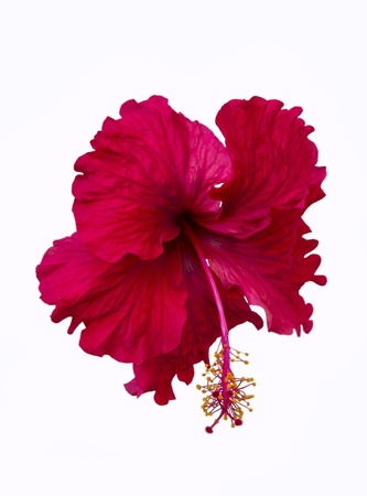 A red hibiscus flower isolated on white background Stock Photo