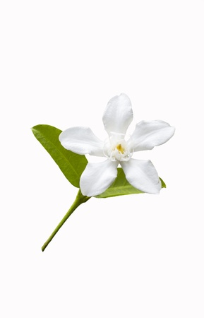 poppet: Beautiful white flower with leaf isolated on white background
