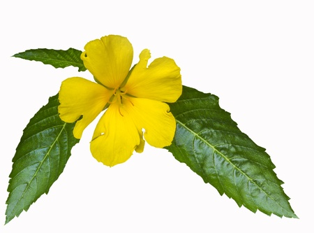 Beautiful yellow flower with leaf isolated on white background Stock Photo
