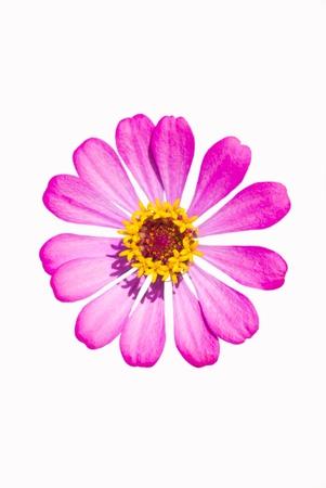 Pink Zinnia flower isolated on white background Stock Photo
