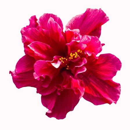 hibisco: Una gran flor de hibisco rojo aisladas sobre fondo blanco