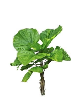 Livistona retundifolia palm tree isolated on white background