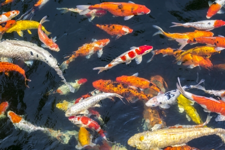 Colorful carps fish swimming in the pond photo