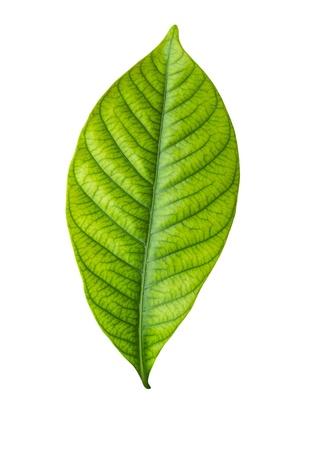 Single green leaf isolated on white background
