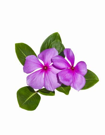 Beautiful pink flowers with green leafs isolated on white background