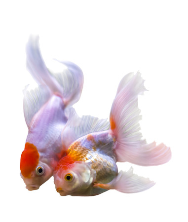 Beautiful two golden fishon white with clipping path photo