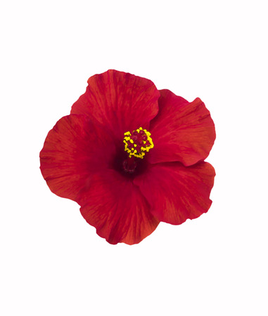 Beautiful red hibiscus flower isolated on white with clipping path Stock Photo