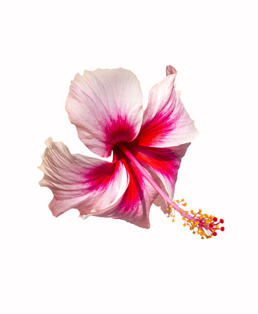 Pink and red hibiscus flower isolated on white background