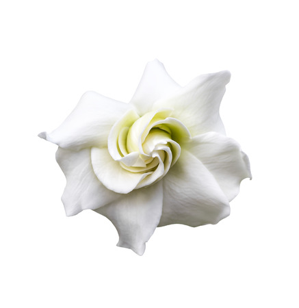White gardenia jasminoides isolated on white with clipping path