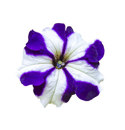 Purple and white petunia flower isolated on white