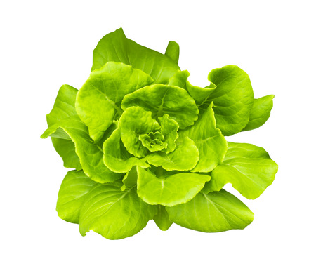 Green Butterhead Lettuce isolated on white background with clipping path