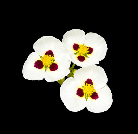 Three flowers isolated on black with clipping path
