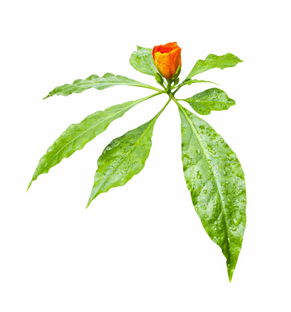 prety: Beautiful orange flower with green leaf in drops of water isolated on white background