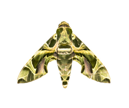 sphingidae: Hawk-moth   Daphnis nerii   isolated on white background with clipping path