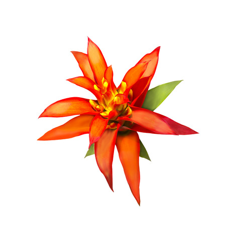 bromeliad: Red and yellow Aechmes Fasciata Bromeliad isolated on white with clipping path Stock Photo