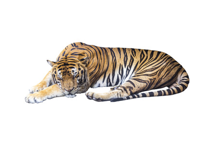 Sleeping tiger on white background with clipping path photo