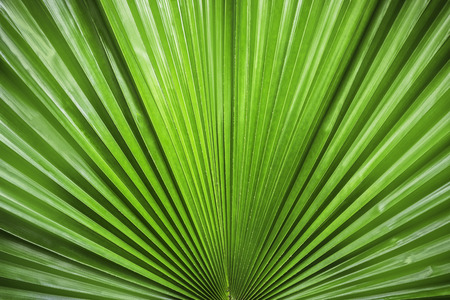 brigh: Closeup pattern nature of reen palm leaf Stock Photo