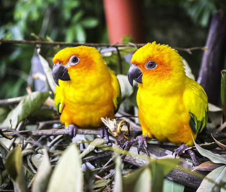 colrful: Closeup two sun conure parrot on nature background