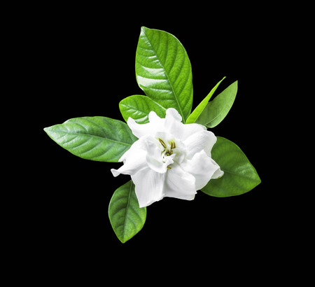 White flower and green leaf isolated on black with clipping path