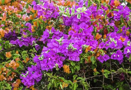Closeup beautiful pink and orange Bougainvillea flowers  in nature