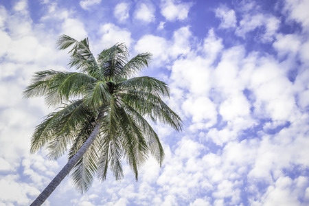 Coconut tree under blue sky and fluffy clouds