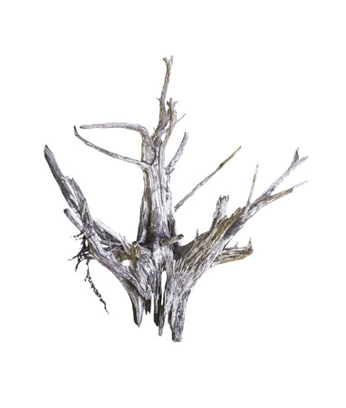 Single dead tree isolated on white background