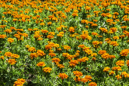 Closeup beautiful orange flowers with green leaf Stock Photo
