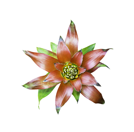 Beautiful  Bromeliad flower isolated on white with clipping path
