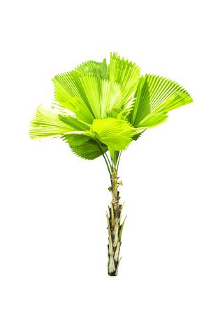 Livistona retundifolia palm tree isolated on white Stock Photo
