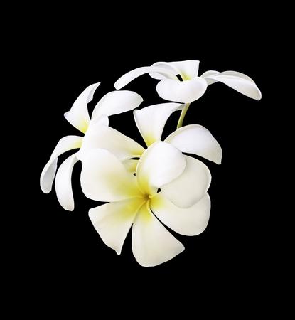 White Plumeria flowers isolated on black background