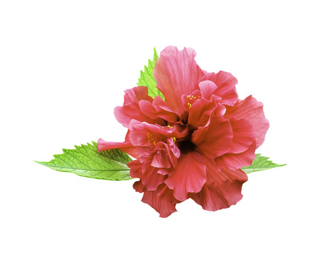 Red hibiscus flower isolated on white with green leaf