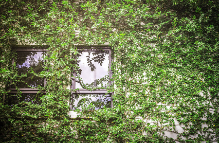 Green leaf covering building wall with windows