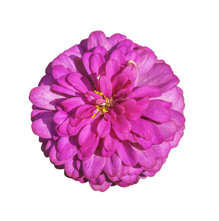 Pink flower isolated on white with clipping path