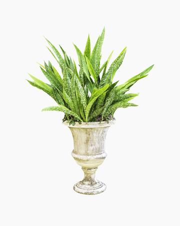 Sansevieria trifasciata in concrete pot isolated on white background Stock Photo
