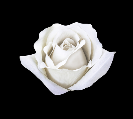 Beautiful white artificial rose flower isolated on black with clipping path