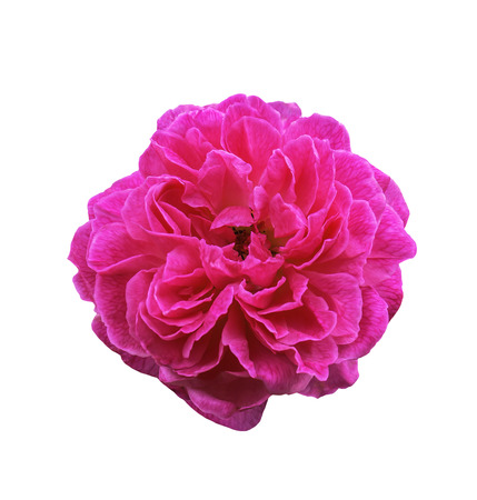 Pink rose flower isolated on white with clipping path Stock Photo