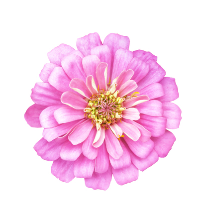 Single pink flower isolated on white background with clipping path