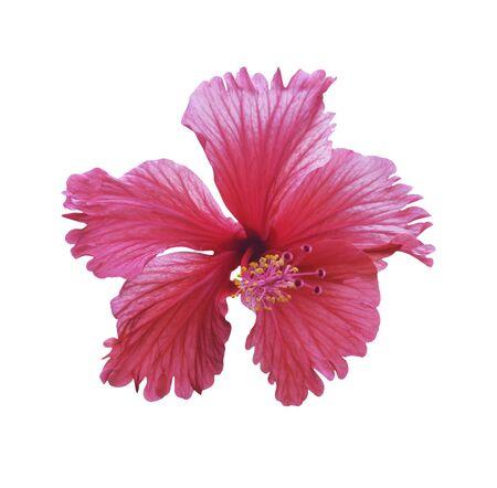 Rote Hibiskusblüte isoliert auf weiß mit Beschneidungspfad Standard-Bild