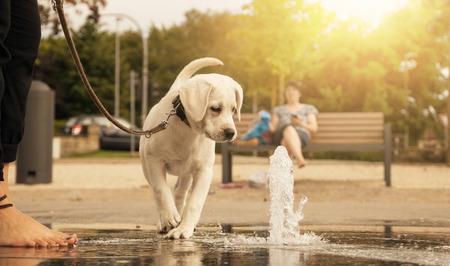 ラブラドル ・ レトリーバー犬子犬ひもにつないで散歩中に公園でのウォーター ジェットを不思議なことに見て - あなたの犬と散歩に行く