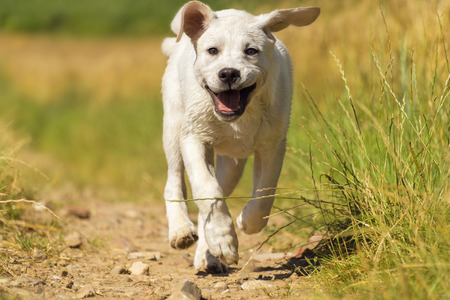A young dog Labrador puppy - runs on a meadow in the sun with a smiling face - Funny dog ??in Action